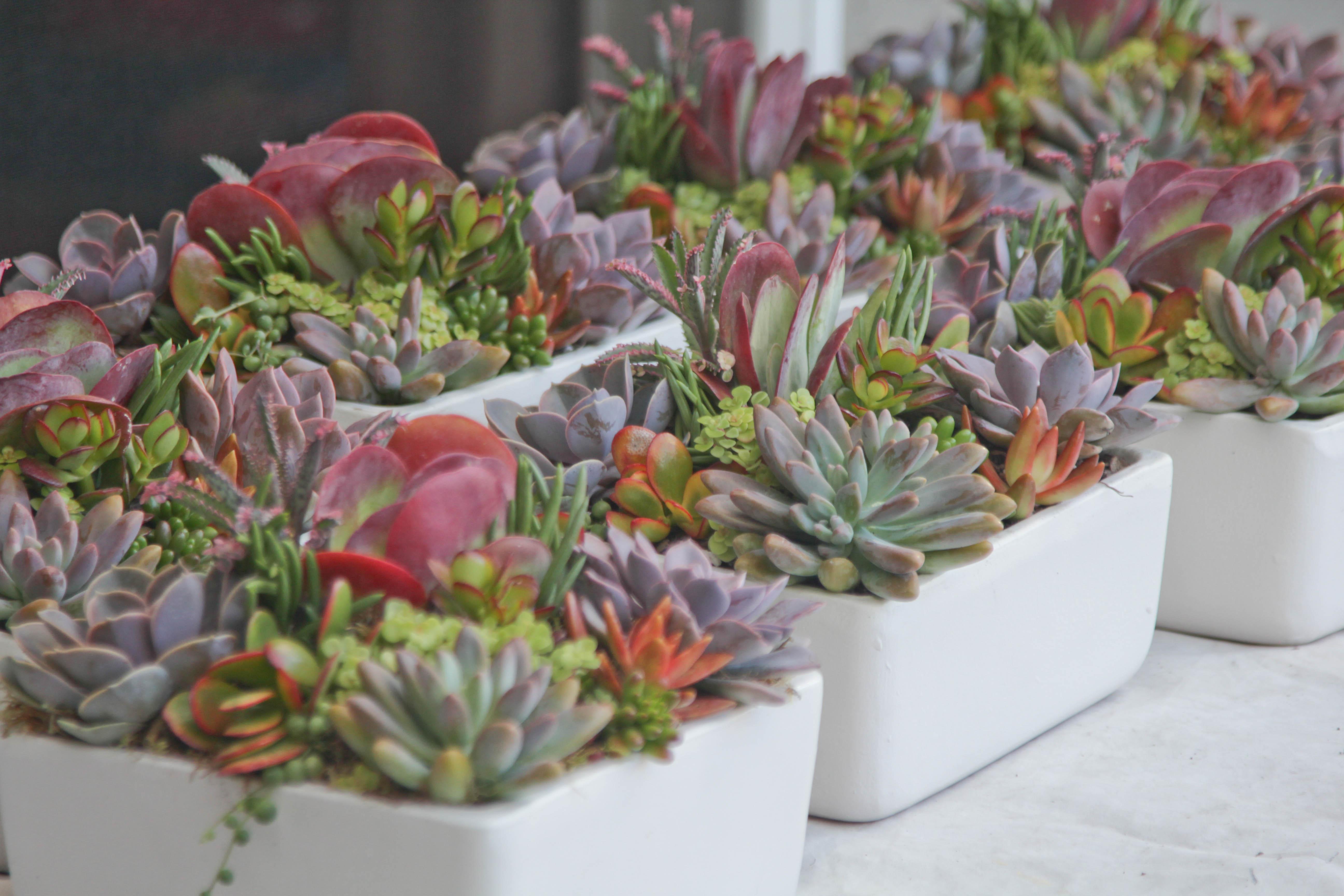 Succulent Wedding Centerpieces In 9 White Square Ceramic Pots